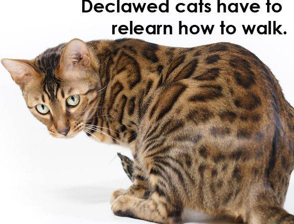 Declawing Cats Pros Cons Alternatives