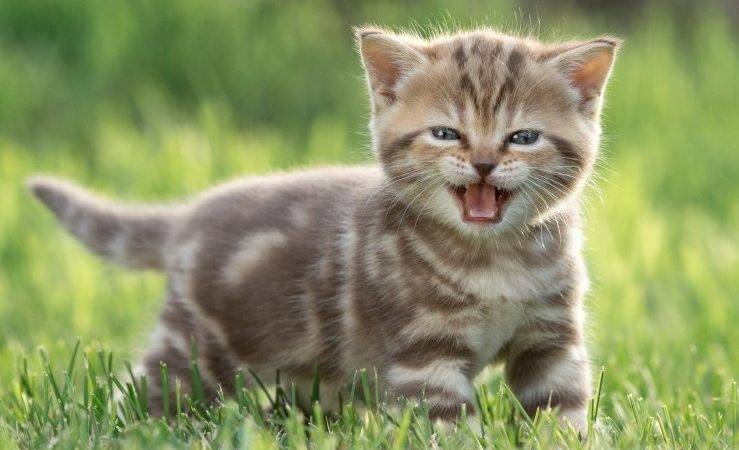 Early Neutering Kittens Pros Cons Pets Homes
