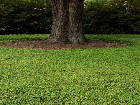 Ground Cover Turf Grass Outdoor Plants