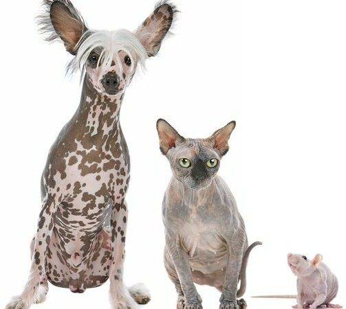 Pros Cons Hairless Pets Tpm